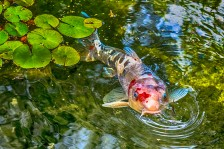 Fish, University House, ANU, Canberra