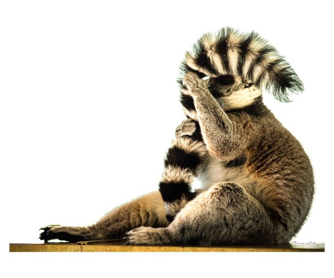 Image of a ring-tailed lemur sitting down, side on view and he is pulling his tail up to cover most of his face.