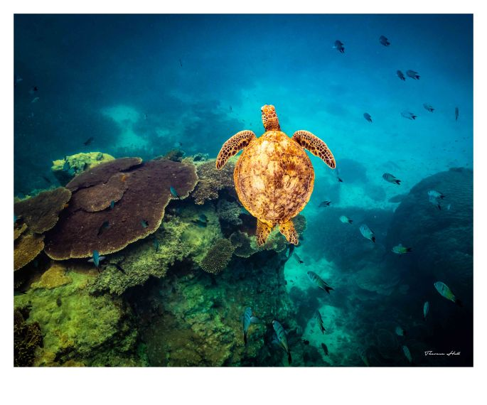 Image of a turtle swimming through the Great Barrier Reef just off Heron Island in Queensland. There are fishes swimming around the turtle and different types of coral.